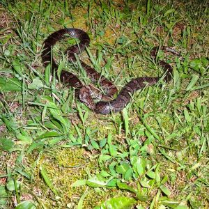 Black Snake At Night In GrassBFTVTV
