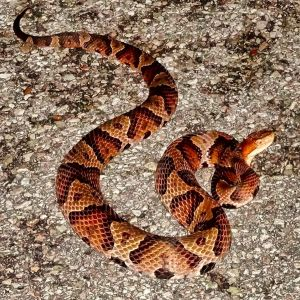 Copperhead In Road At NightBFTVTV